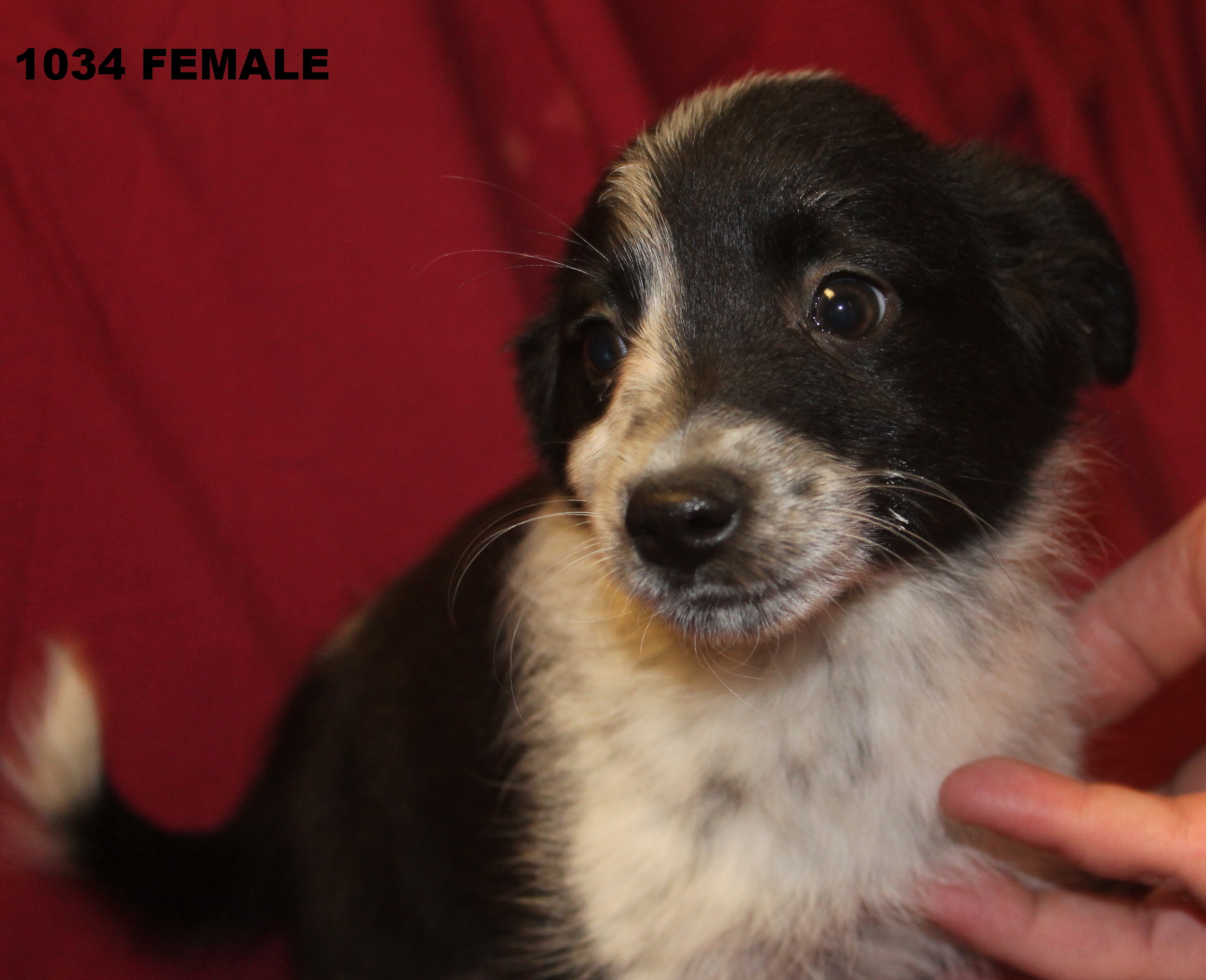 Blue Heeler Australian Shepherd Mix Puppies For Sale Daria blue heeler ...