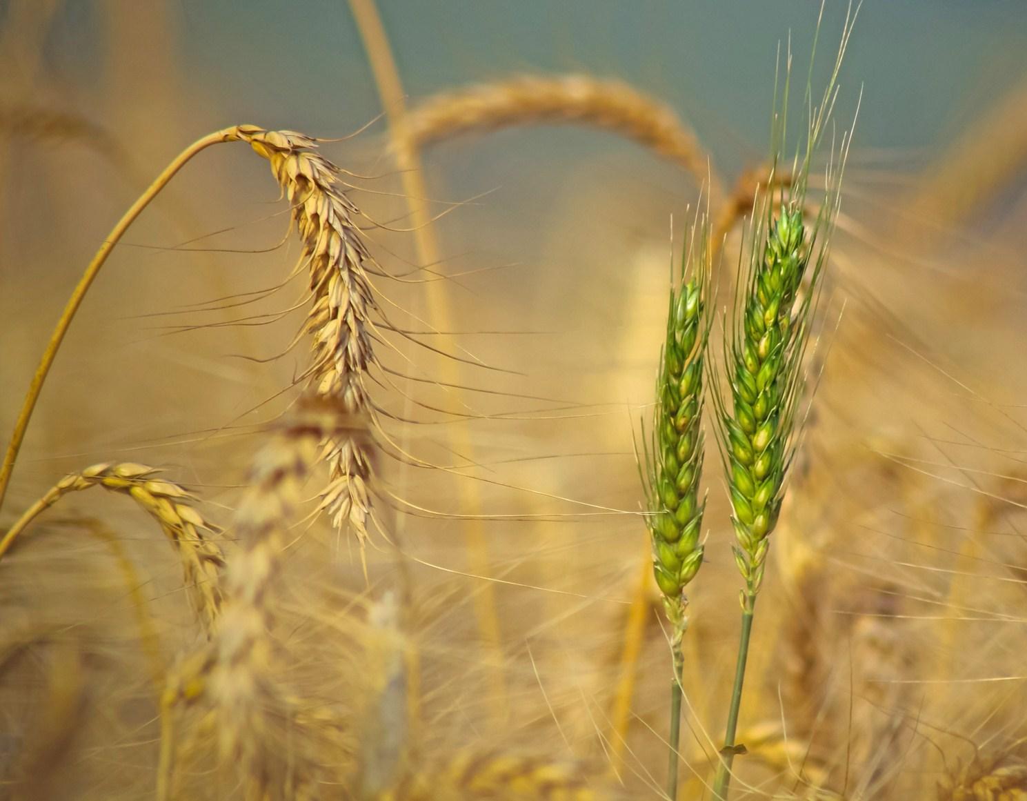 Resultado de imagem para imagem do joio e do trigo