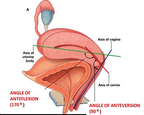 Anatomy Uterus