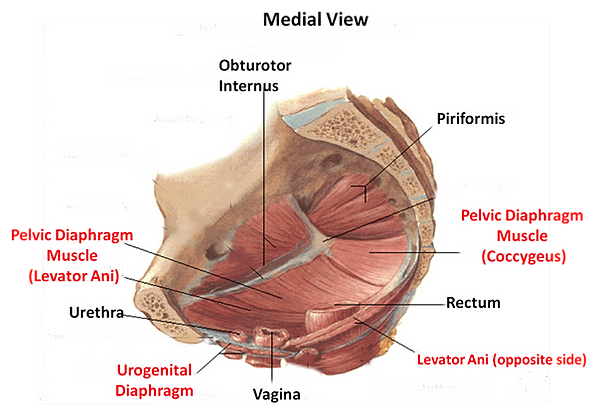 Area between anus and pubis