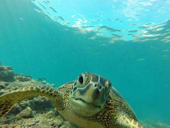 Hanauma Bay Hawaii honu turtle
