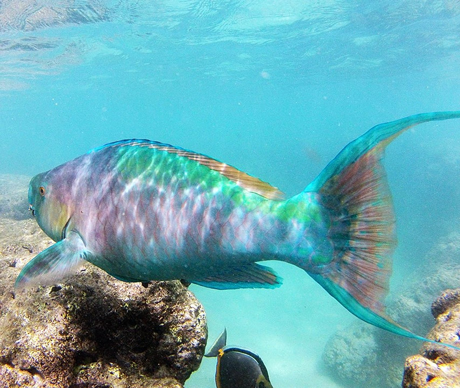 Hanauma bay snorkel tours in oahu hawaii for Types of fish in hawaii