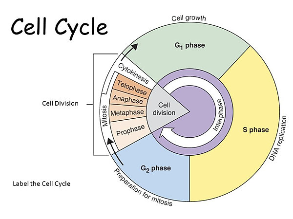 Mrsagbobock the cell cycle cell cycle quizlet ccuart Image collections