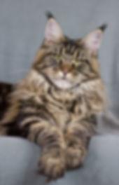 Lazy lynxs Olive i presentation för hälsotestad honkatt för avel av rasen maine coon