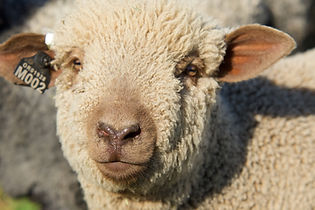 Iron Water Ranch Scorch - Moorit Romney Ram Lamb