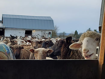 Iron Water Ranch Ewes