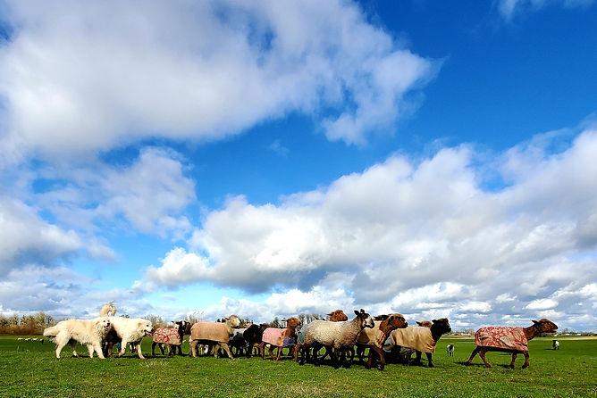 Iron Water Ranch Sheep
