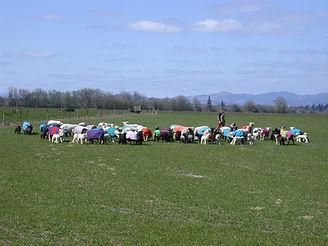 IWR ewes kirsten.jpg