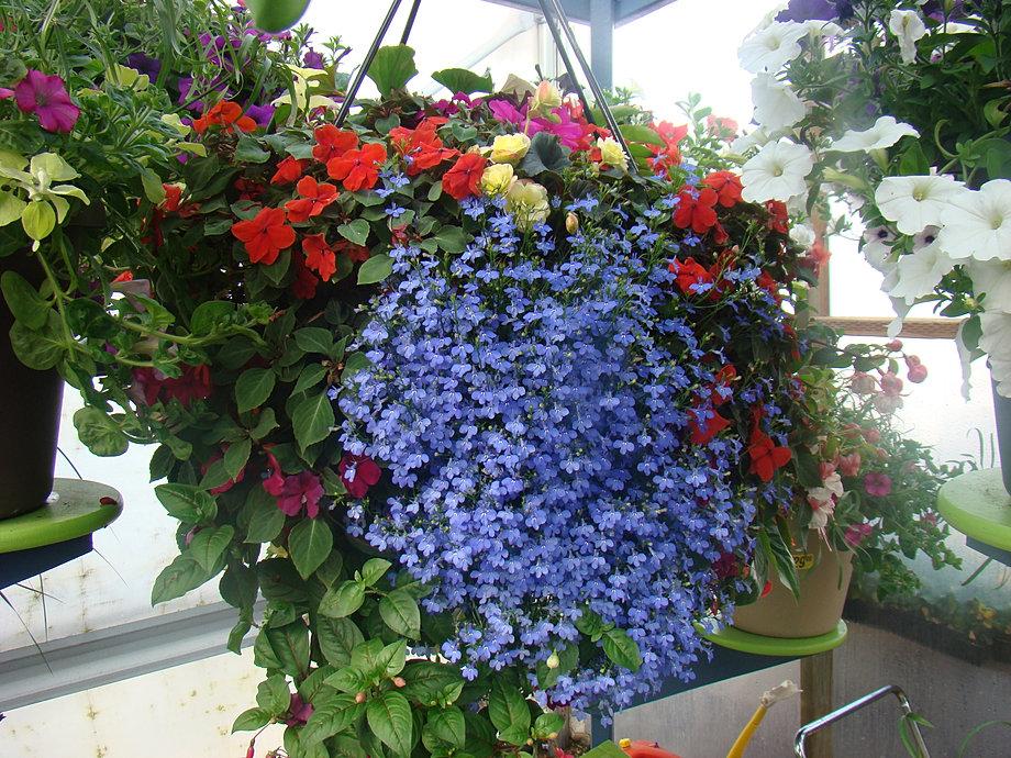 Flowers For Hanging Baskets In Part Shade : Garden gateway begonias logan utah