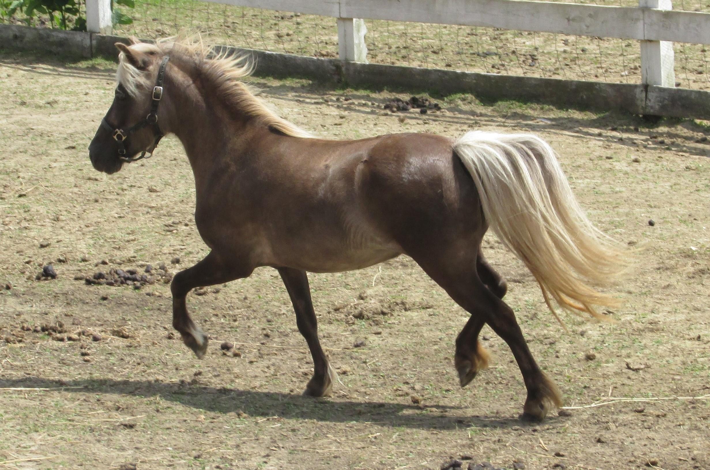 how to train a miniature horse
