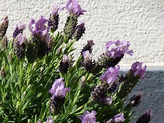 Lavendel op het terras.