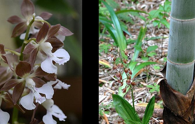 Shadeplants calanthe cardamine cardiandra caryopteris for Plante xanthorhiza
