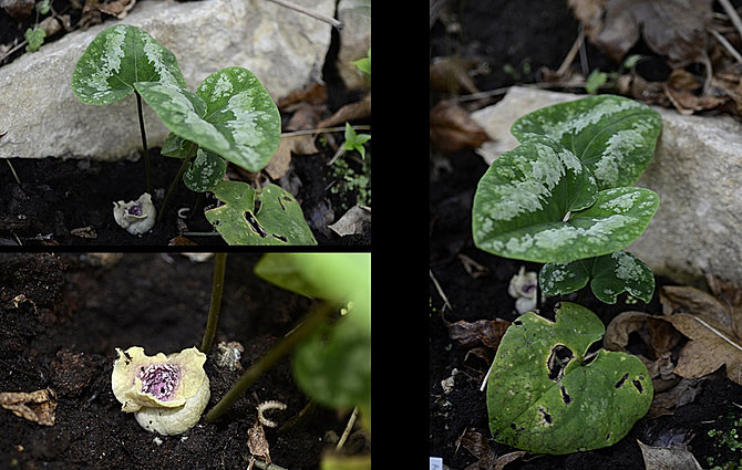 Shadeplants asarum aspidistra asteropyrum for Plante xanthorhiza