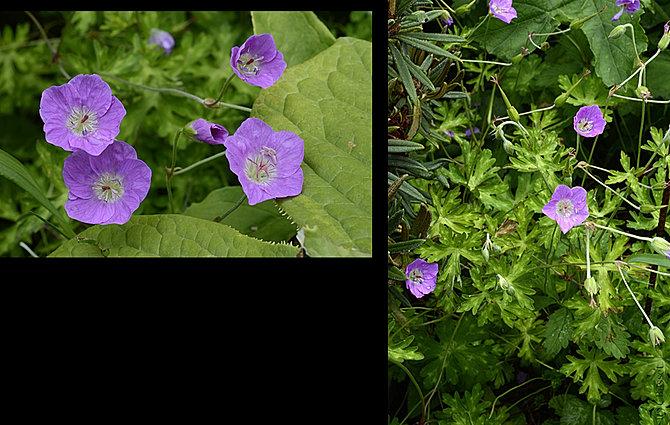 Shadeplants geranium glaucidium hakonechloa helleborus for Plante xanthorhiza