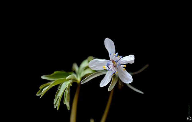 Shadeplants eranthis erythronium farfugium filipendula for Plante xanthorhiza