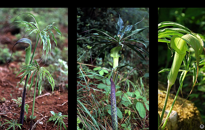 Shadeplants arisaema aralia aruncus for Plante xanthorhiza