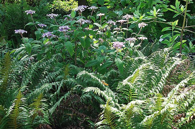 Foug res et hortensia au jardin botanique de lyon for Boulevard du jardin botanique 20 22