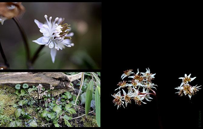 Shadeplants convallaria coptis corydalis cynanchum for Plante xanthorhiza