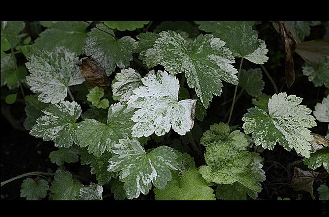 Shadeplants mitella for Plante xanthorhiza