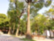 交通大學十六景之一玉樹向榮