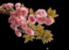 kisspng-china-cherry-blossom-flower-peac