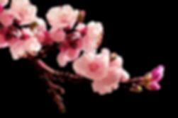 kisspng-peach-blossom-flower-plum-flower