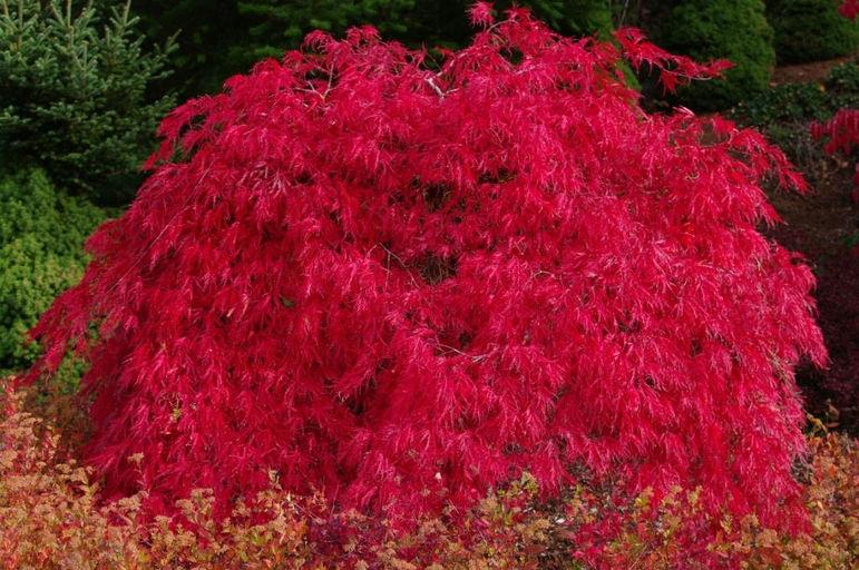 Maples For All Seasons Nurserynursery Arborists Specializing In