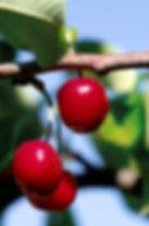 cherry freedigitalphotos.jpg