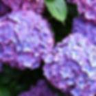hydrangea_edited.jpg