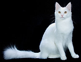 Turkish Angora