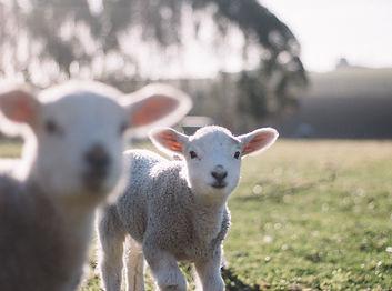 Lambs_edited.jpg
