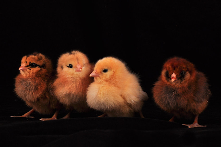 Easter Egger Chicks