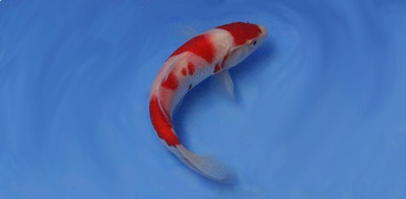 Fancy goldfish imported japanese koi pond and aquarium for Imported japanese koi for sale