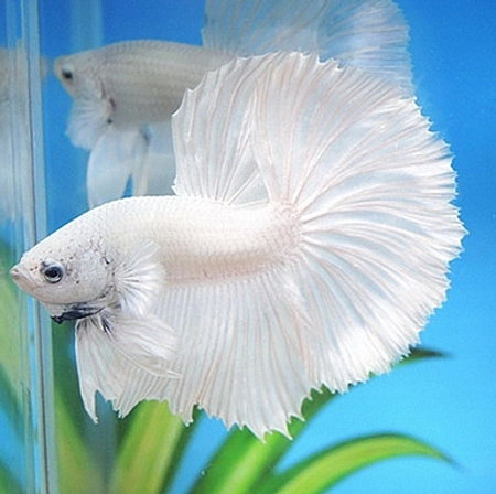 Bettas for sale halfmoons plakats crowntails giants for Betta fish sale