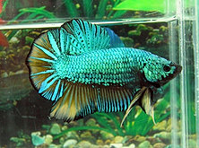 Bettas for sale halfmoons plakats crowntails giants for Giant betta fish for sale