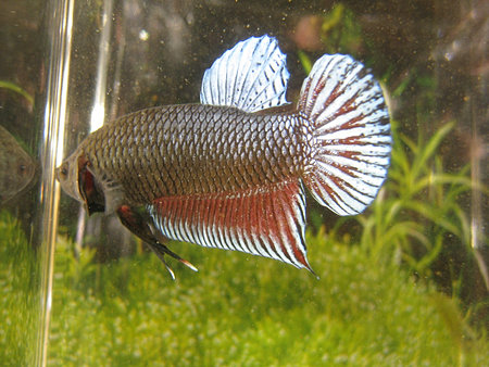 Bettas for sale halfmoons plakats crowntails giants for Biggest betta fish