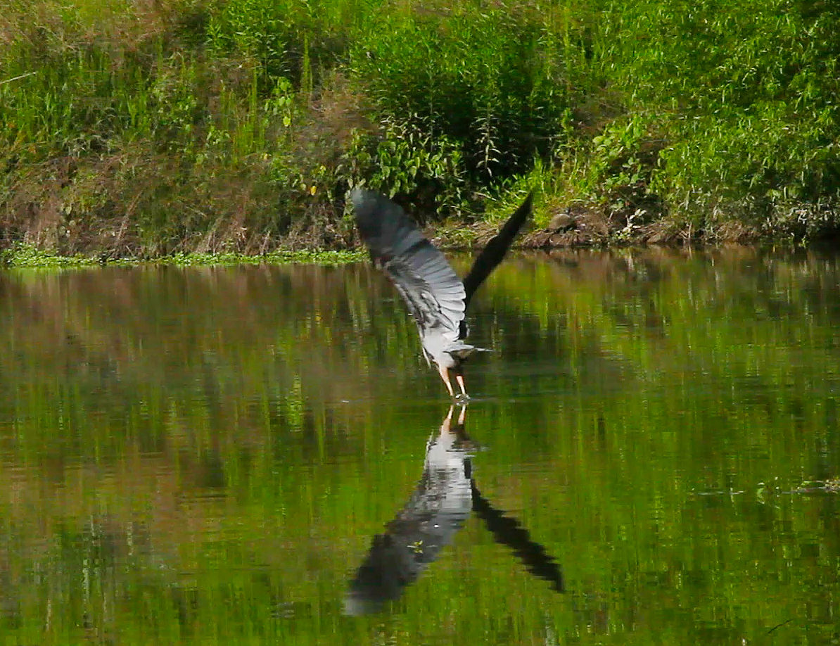 Blue Heron in flight.jpg