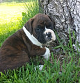 puppies for sale AKC Boxer Puppies for sale Iowa