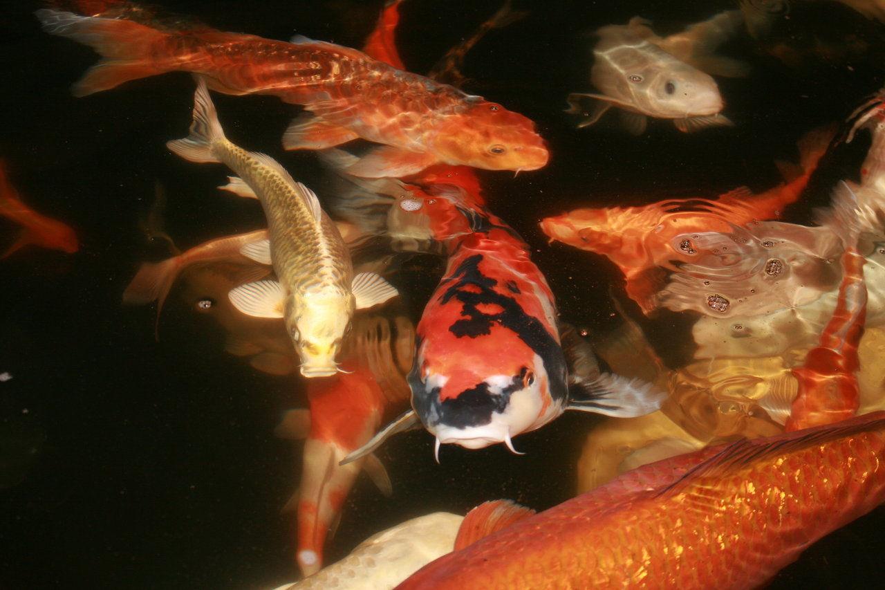 D and s koi farm serving spanish springs reno sparks for Raising koi fish