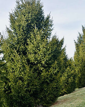 conifer- onlineshop-capegarden 2.jpg