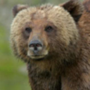 Great-Bear-Rainforest-Marni-Grossman-Pho