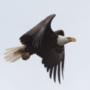 Eagles-Wildlife-Marni-Grossman-Photograp