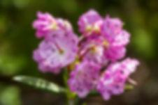 Bog Laurel (Kalmia polifolia) ©GaryMcGuffin
