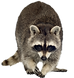 raccoon removal.png