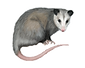 opossum removal.png