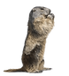 woodchuck removal.png