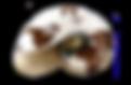 profilo_malakos_conchiglia150_invertito