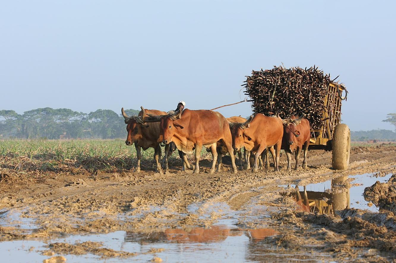 transport of sugarcane
