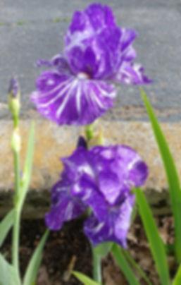 6.10.19 cropped fav.Iris.jpg