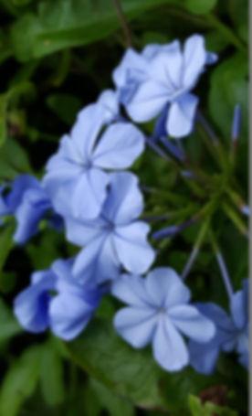 plumbago_blue_plumbago_blue_plumbago_flo